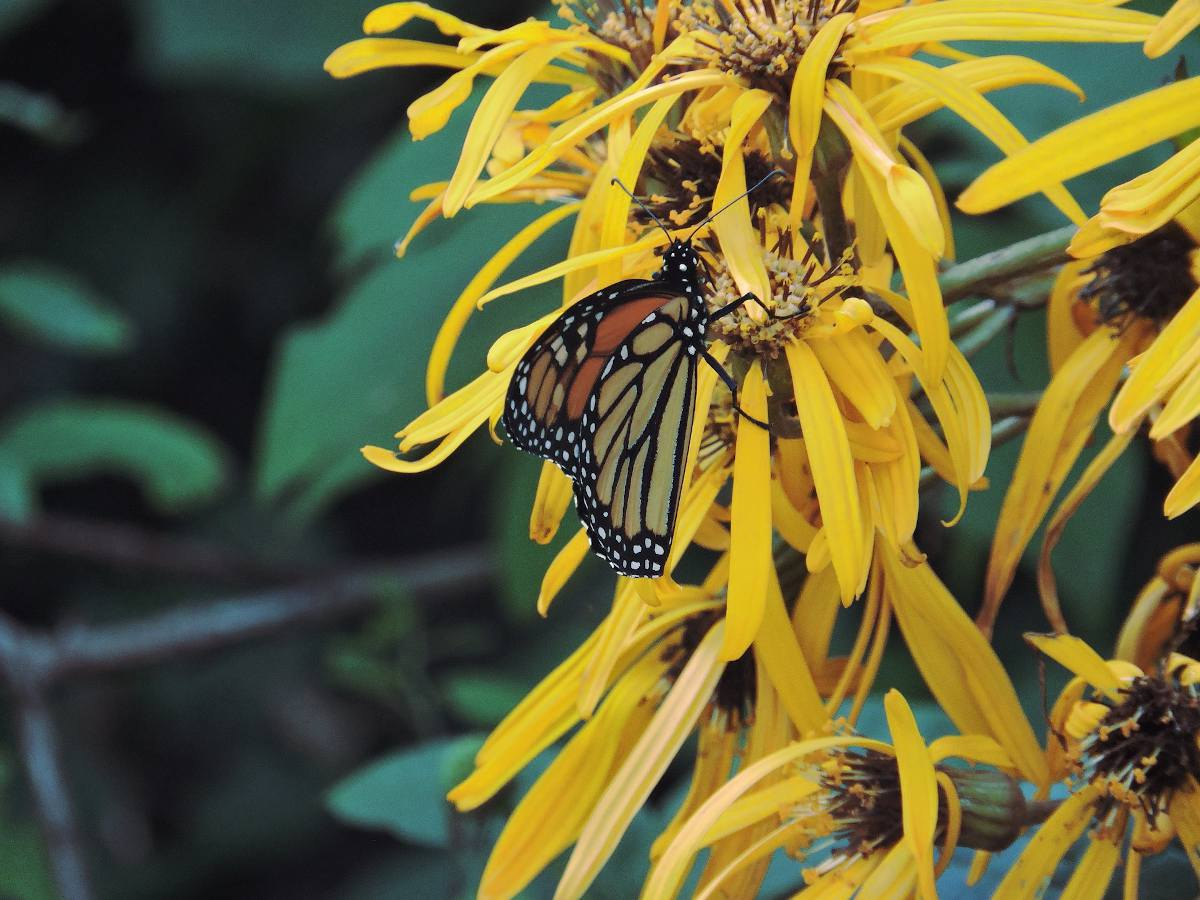 Ligularia hessei - ligulaire