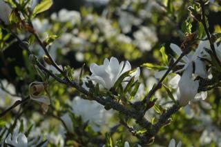Magnolia étoilé fleurs blanches blanc