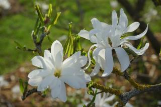 Magnolia étoilé plantation entretien