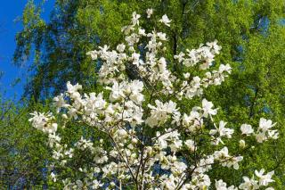 Magnolia loebneri
