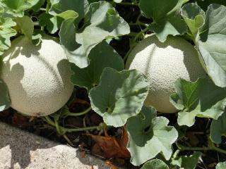 Melon vert Galia