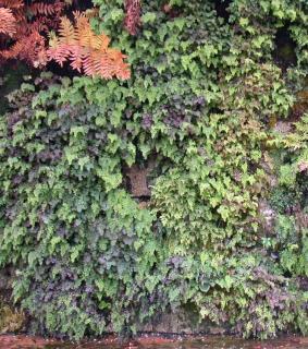 Mur de fougères