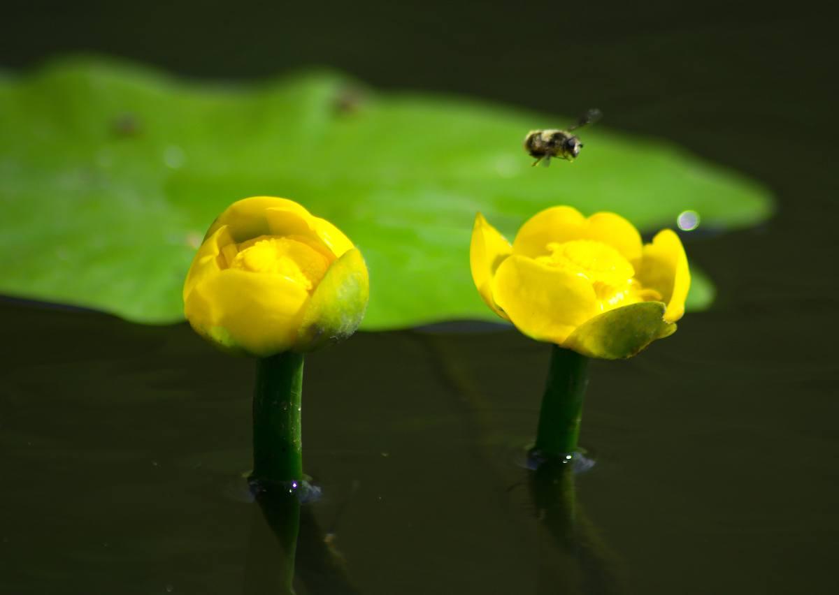 Nuphar lutea - nenuphar jaune