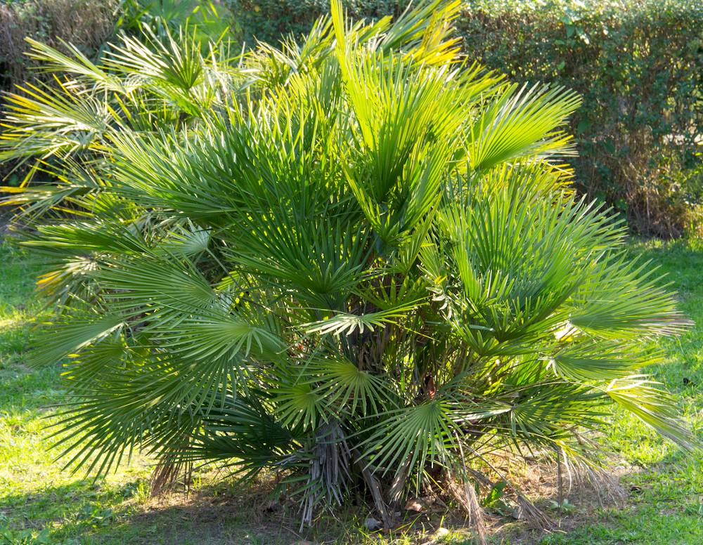 Palmier nain - Chamaerops humilis