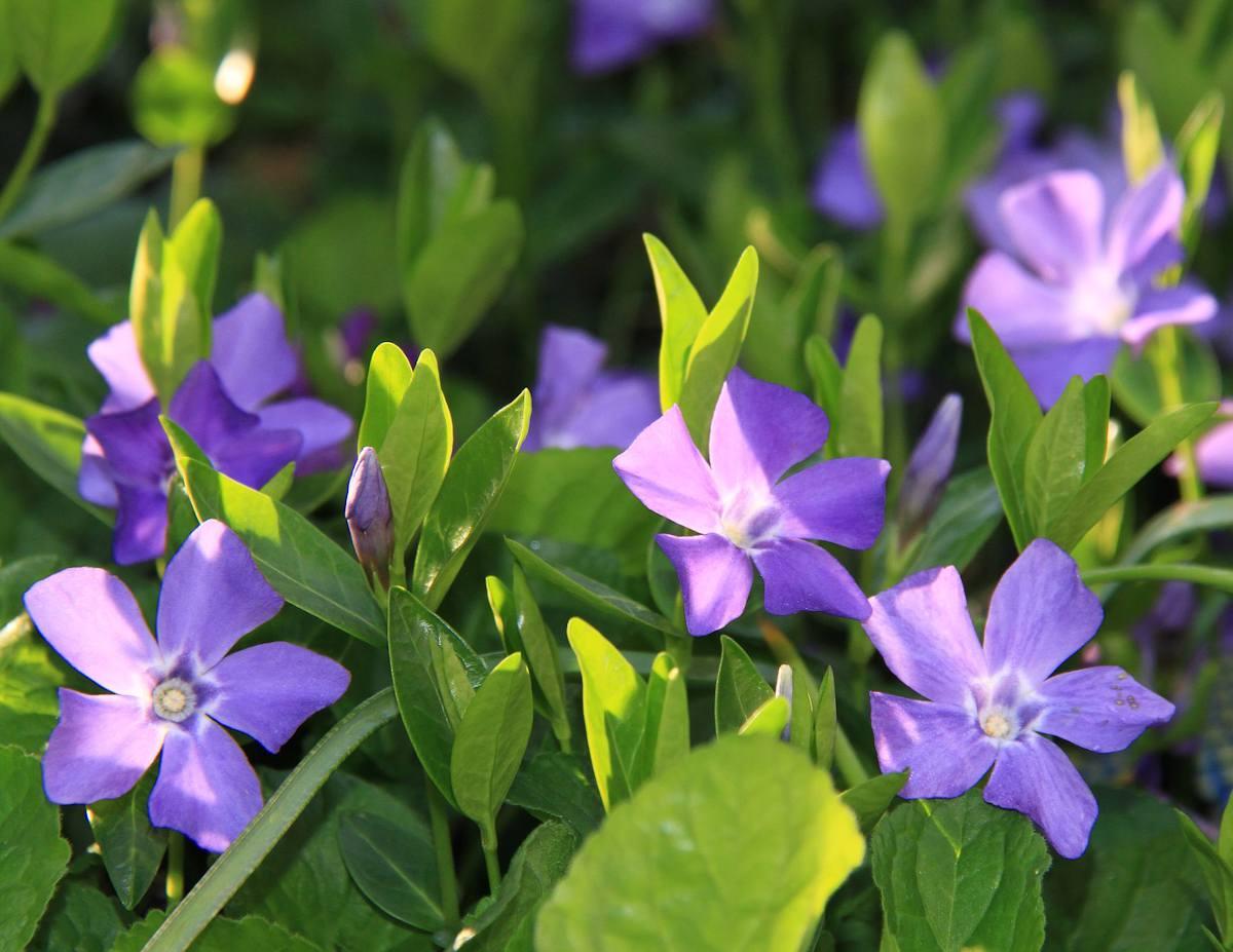 Pervenche fleur plante