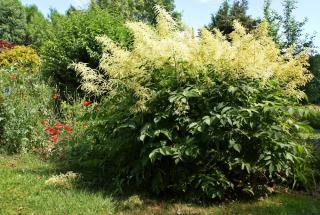 Plantation - Barbe de Bouc - Aruncus dioicus