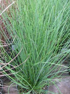 Plantation Juncus effusus - Jonc epars spirale