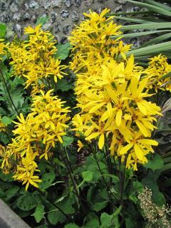 Plantation Ligularia hessei - ligulaire