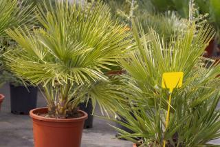 Plantation - Palmier nain - Chamaerops humilis