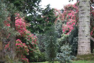 Rhododendron sous conifères