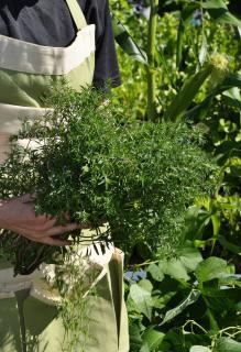 Sarriette recolte conservation