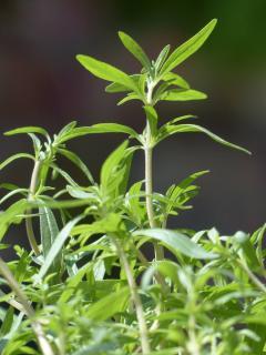 Sarriette semis