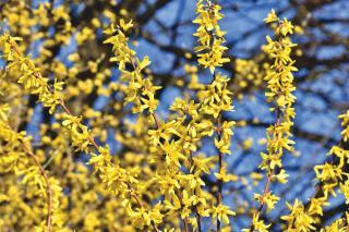 Taille arbuste a fleur printemps