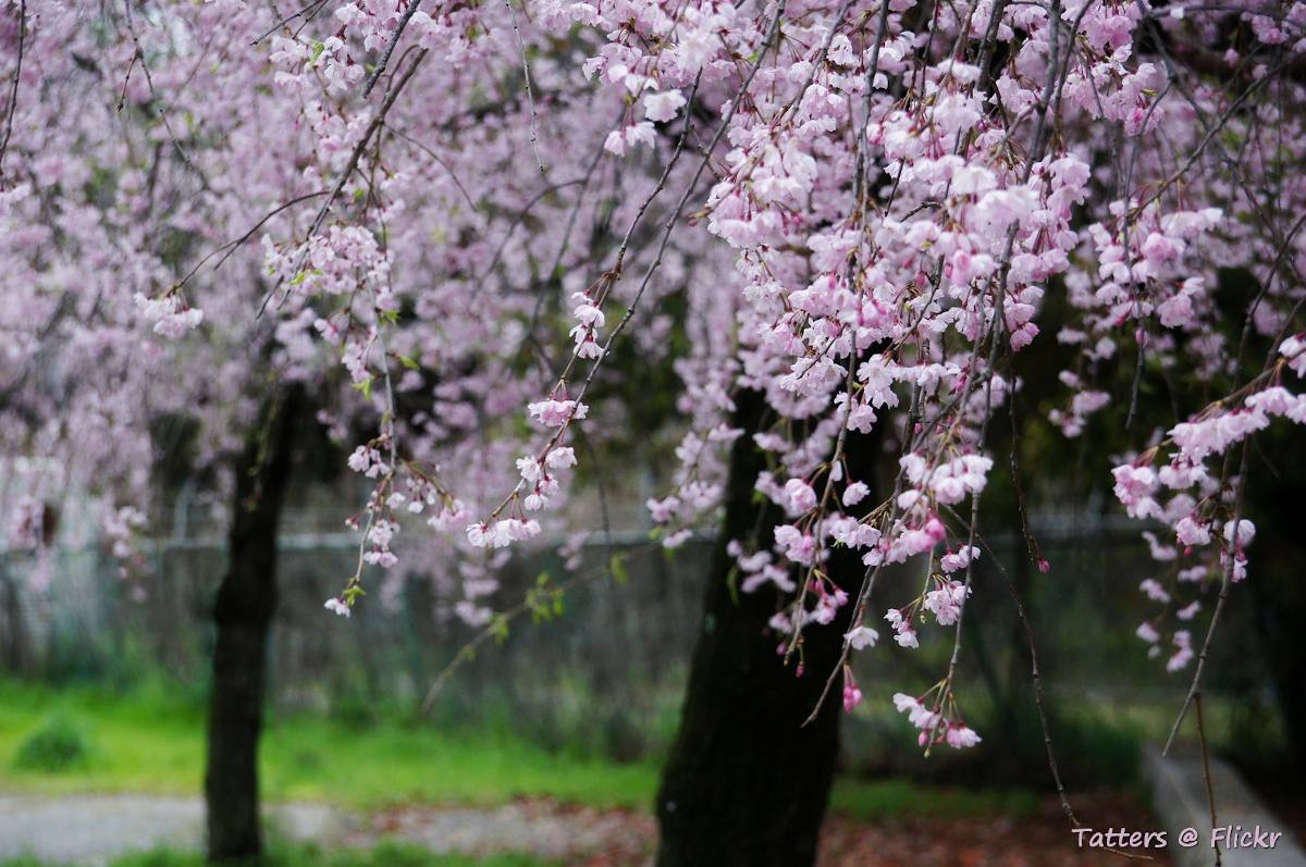 arbre pleureur