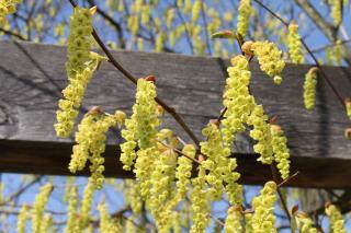 arbuste floraison printaniere