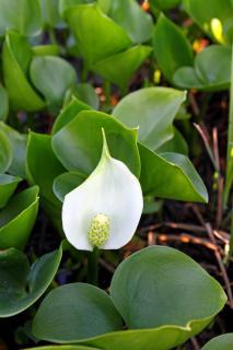 calla palustris marais arum eau