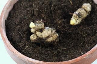 cultiver gingembre en pot culture