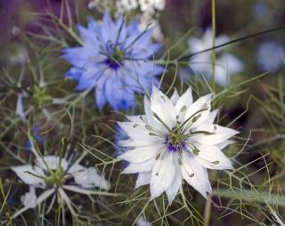 emplacement Nigelle de Damas - Nigella damascena
