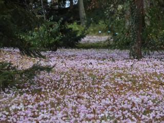 fleurs sous conifere