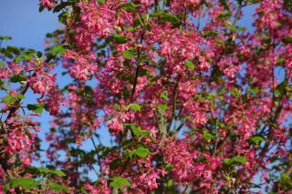groseillier a fleurs - Ribes sanguineum