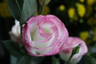 lisianthus-fleur