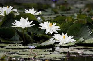 nenuphar lotus