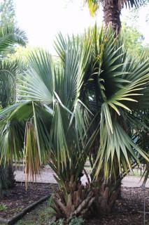 sabal minor - palmier sous conifere