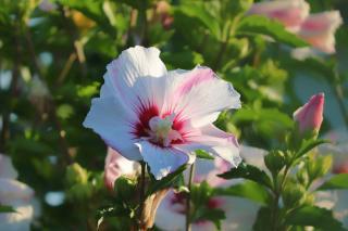 taille arbuste a fleurs ete