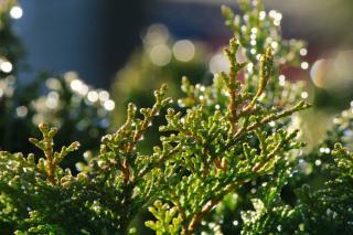 taille conifere