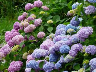 taille hortensias macrophylla