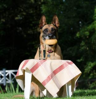 Berger Belge Malinois alimentation