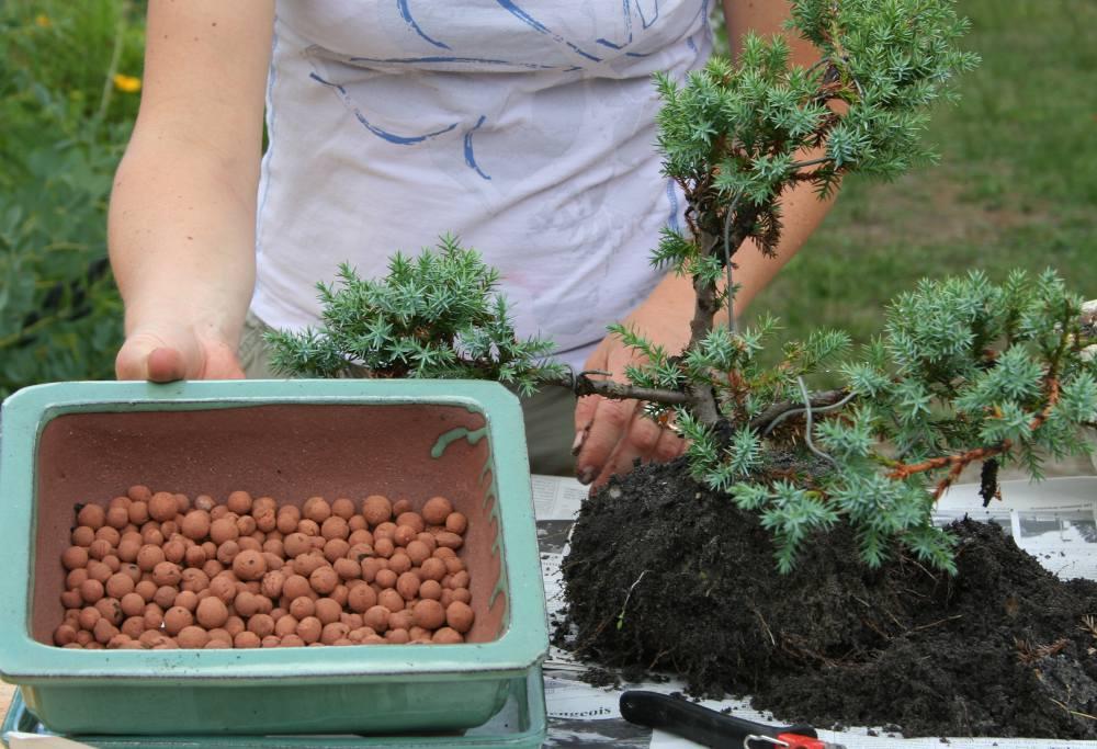 Billes d'argile - Rempotage de bonsaï