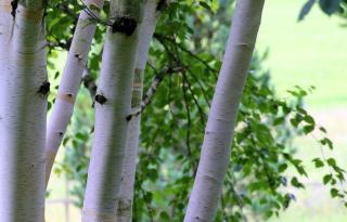 Bouleau de l'himalaya - Betula utilis