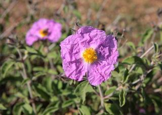 Cistus albidus - Ciste cotonneux rose