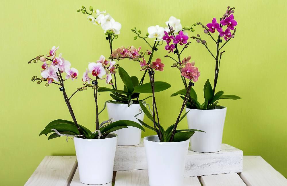 Faire durer floraison orchidee