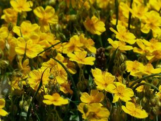 Helianthemum Ciste
