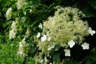 Hydrangea petiolaris ombre