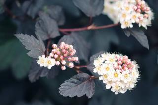 Physocarpus - Physocarpe a feuille d'obier