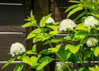 Physocarpus en pot - Physocarpe plantation