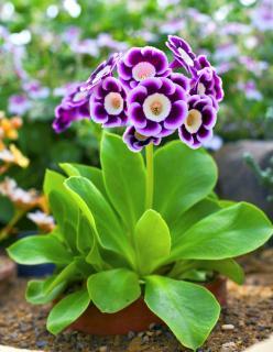 Plantation Primula auricula - Oreille d'Ours