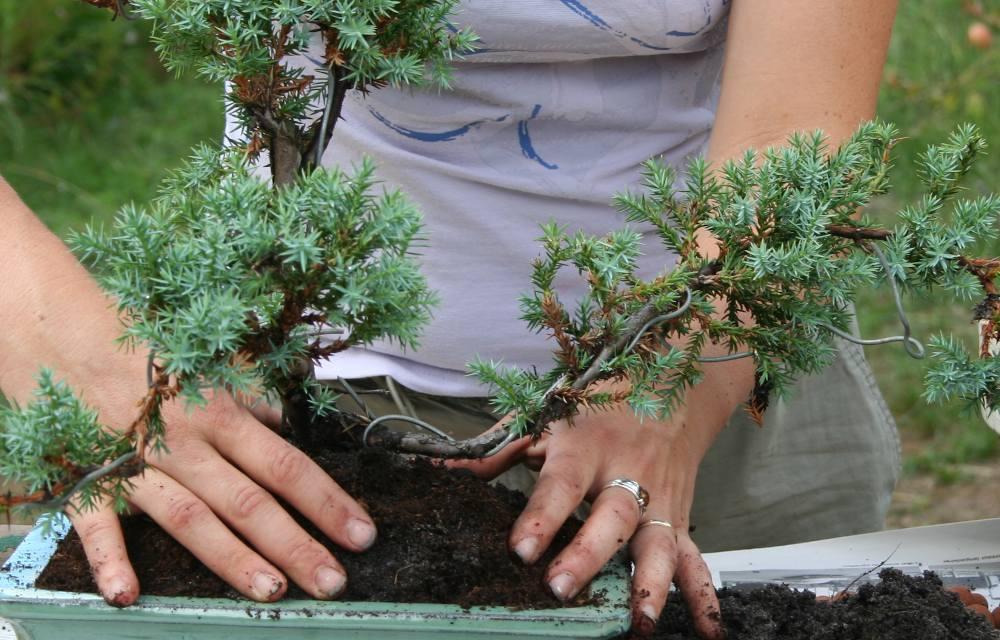 Rempotage de bonsaï _fil de cuivre