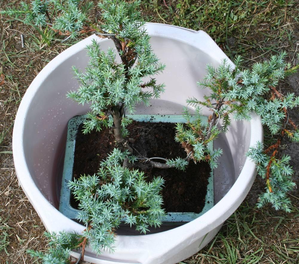 Rempotage de bonsaï bassine eau