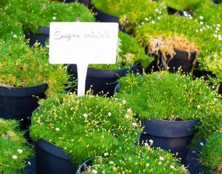 Sagine - Sagina subulata - Plantation