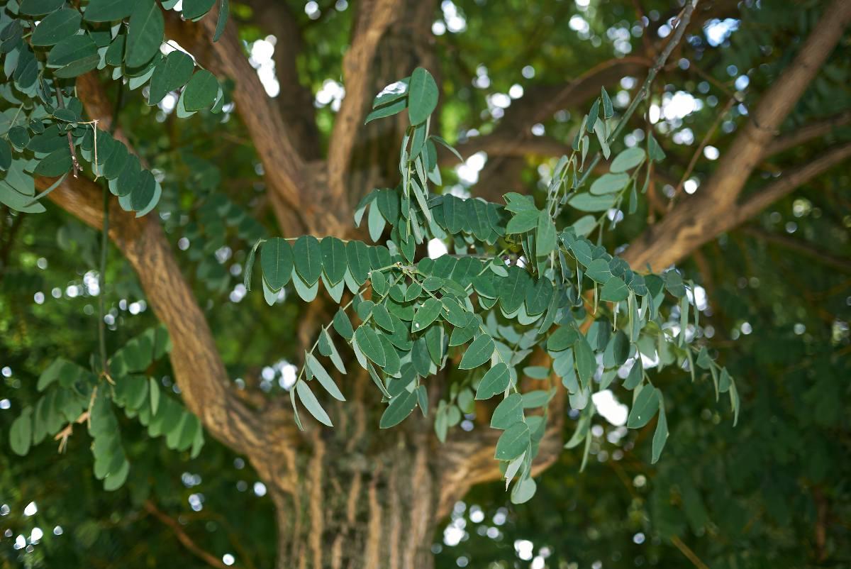 Sophora Japonica - Styphnolobium japonicum