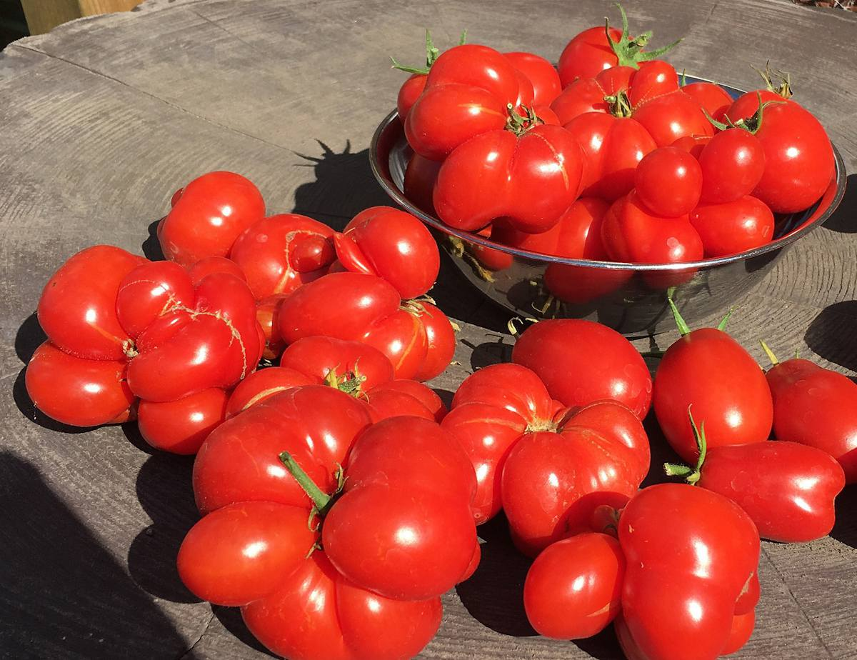 Tomate Voyage