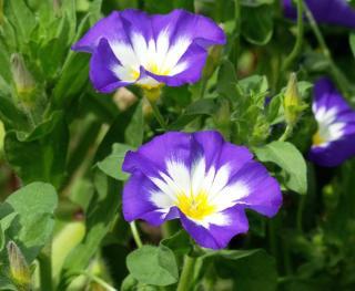 belle de jour - Convolvulus tricolor