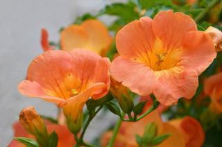 bignone grimpante à fleurs