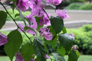 bougainvillier en fleur - plante grimpante