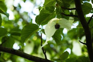 davidia-involucrata-fleur floraison