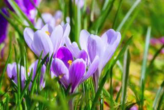 entretien crocus sativus